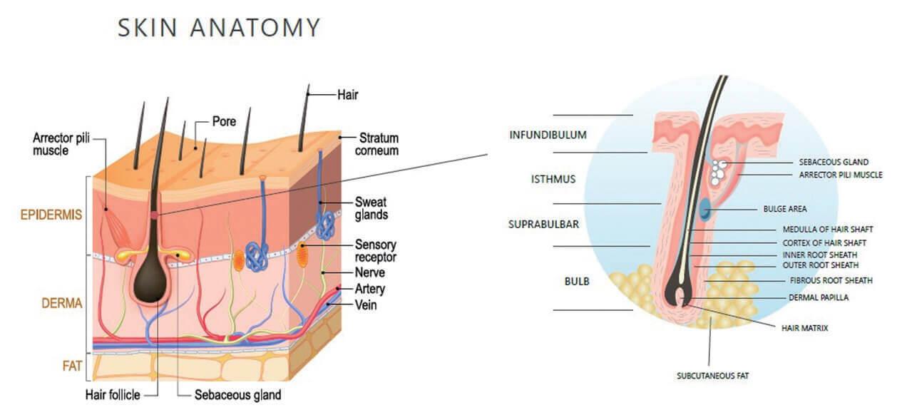 AROMASE-scalp structure (1)